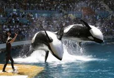 Seaworld killer whales